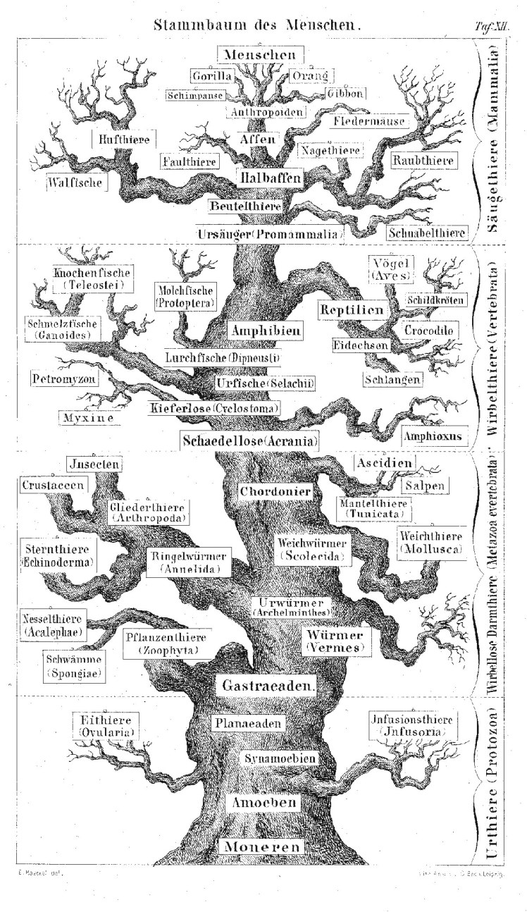 Pedigree_of_man_(Haeckel_1874)